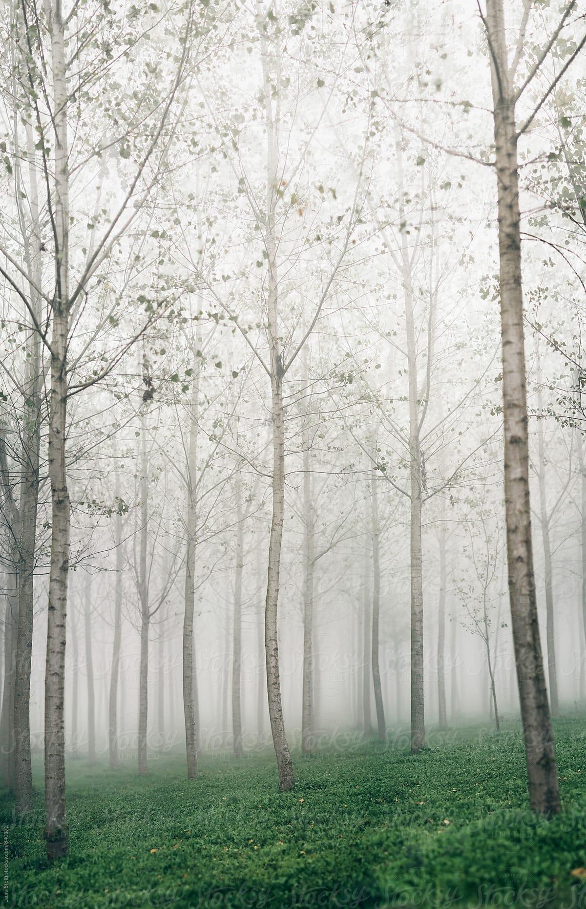 Poplar Trees In The Fog By Laura Stolfi Stocksy United