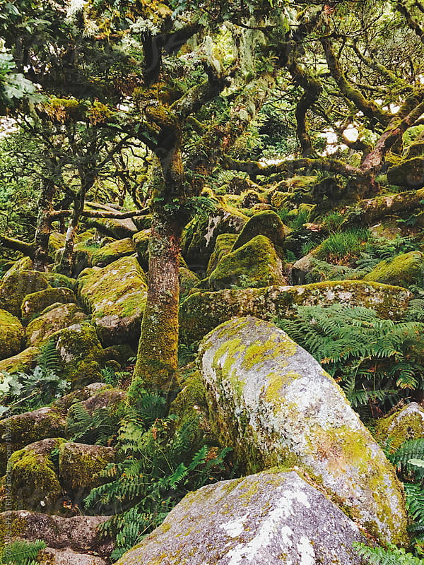 Rocks and Mossy Trees in Ancient Whistman's Wood (Dartmoor NP, Devon, England) by VISUALSPECTRUM for Stocksy United