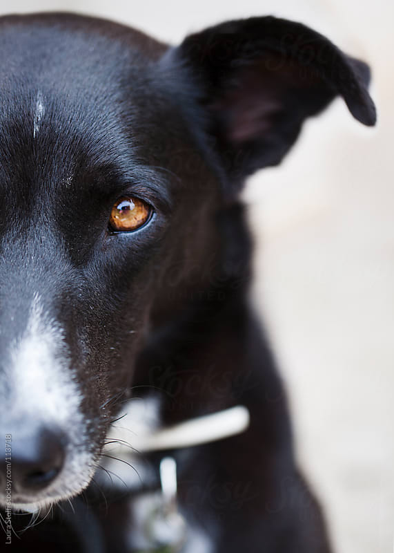 Close up of little black dog's eye looking straight at camera by Laura Stolfi for Stocksy United