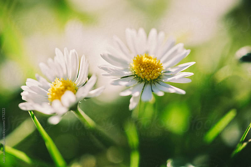 Daisies by sally anscombe for Stocksy United