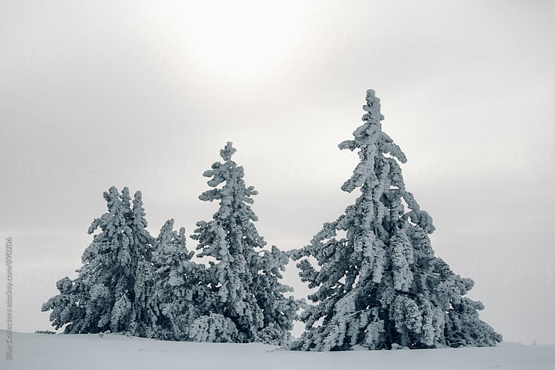 Forest of fir trees frozen by Blue Collectors for Stocksy United