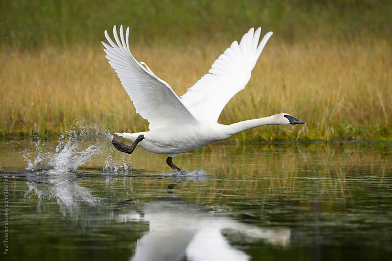 Trumpeter Swan by Paul Tessier for Stocksy United