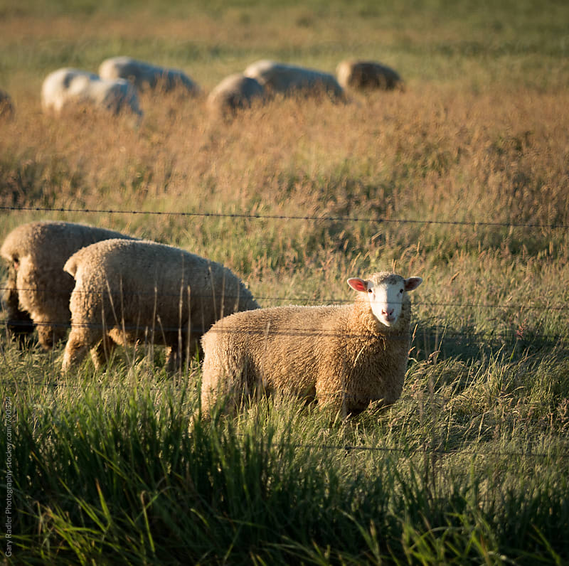 Sheep on an Australian Farm by Gary Radler Photography for Stocksy United