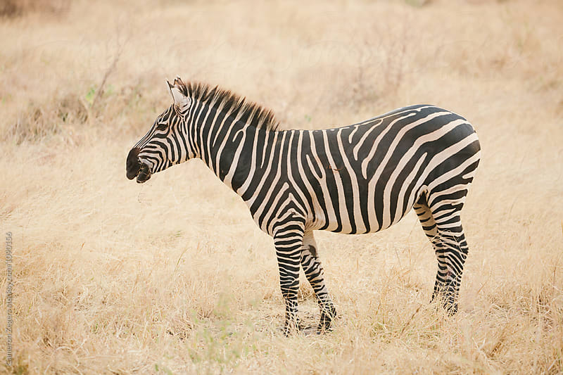 zebra standing in grassland by Cameron Zegers for Stocksy United