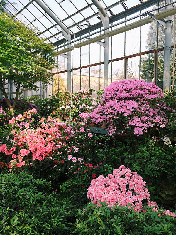 Azalea blossom in botanical garden by Lyuba Burakova for Stocksy United