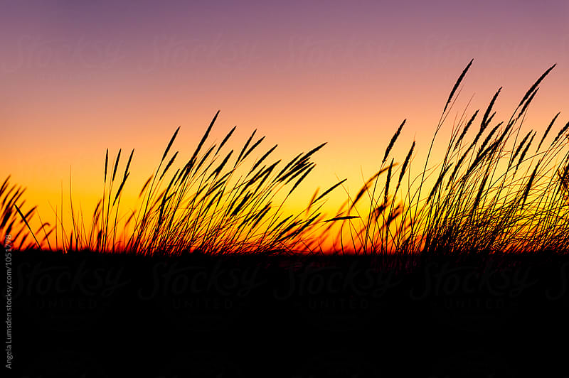 Seagrass in silhouette after sunset by Angela Lumsden for Stocksy United