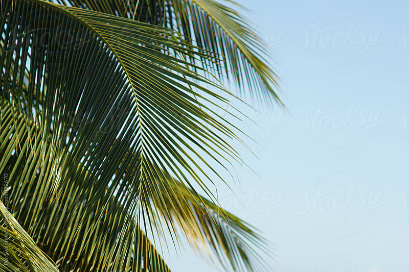 Beautiful palm tree on a sunny day by Per Swantesson for Stocksy United