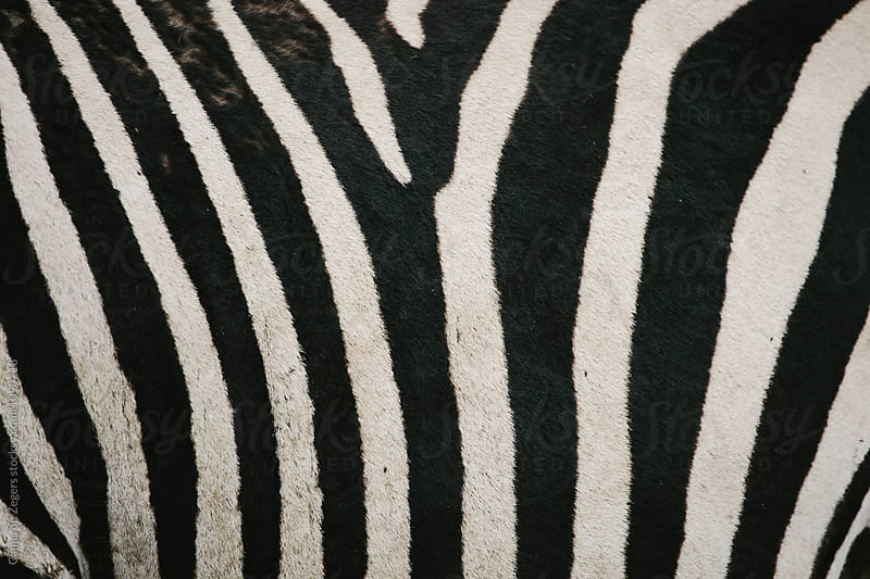 zebra stripes by Cameron Zegers for Stocksy United