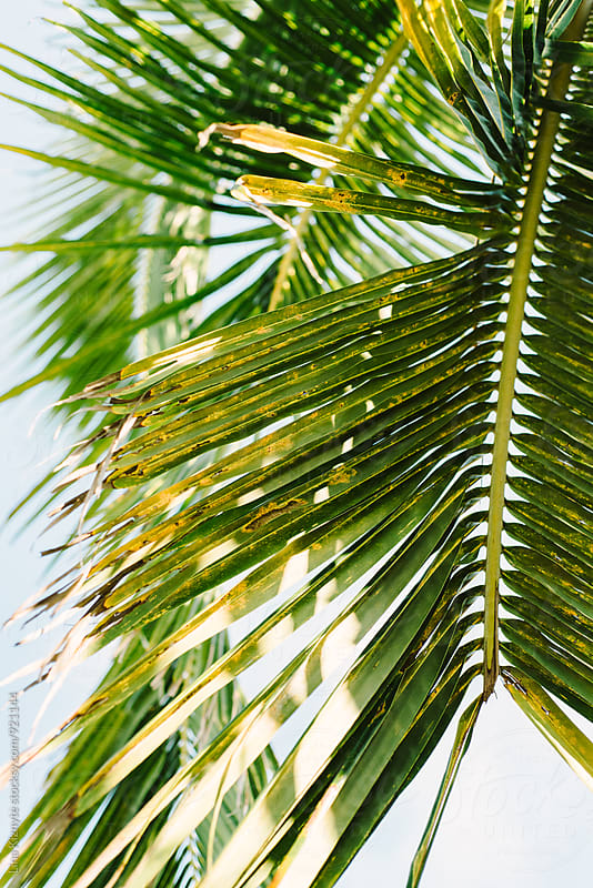 Palm Leaves by Lina Kiznyte for Stocksy United