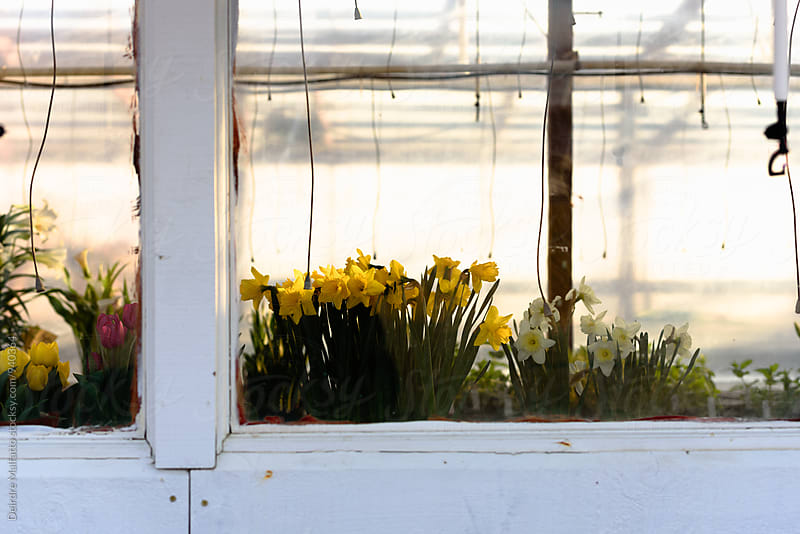 spring flowers in greenhouse by Deirdre Malfatto for Stocksy United