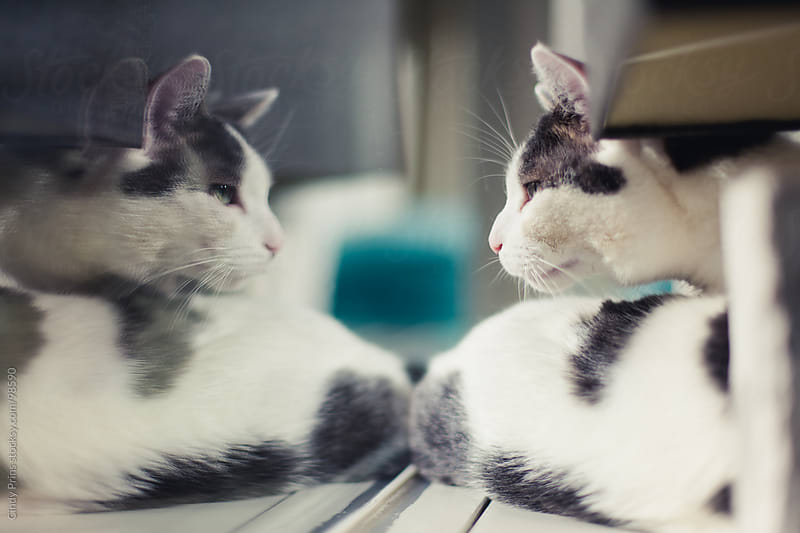 White and grey cat staring at his reflection in the window by Cindy Prins for Stocksy United