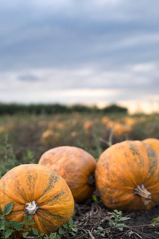 Pumpkin crop at dusk on a cloudy day by Jovana Milanko for Stocksy United