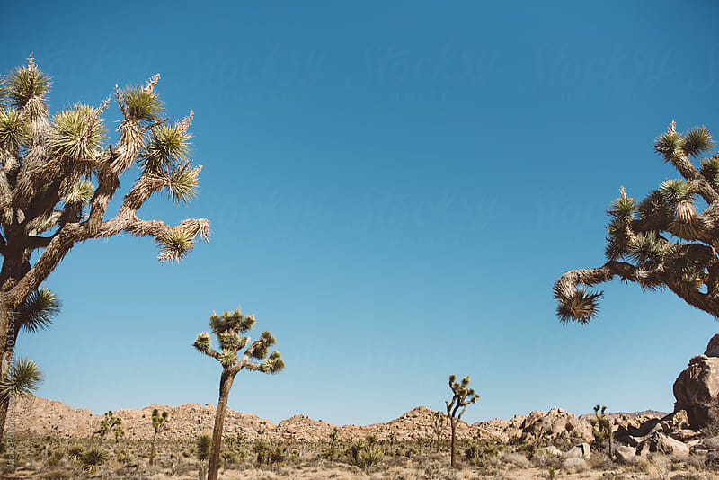 Joshua Tree Landscape by Jacki Potorke for Stocksy United
