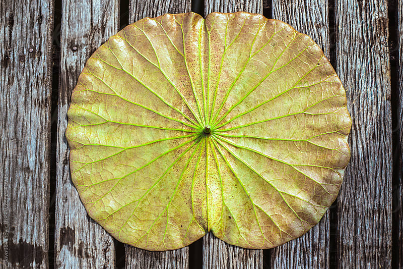 Water lily leaf on wooden surface.  by Jovo Jovanovic for Stocksy United