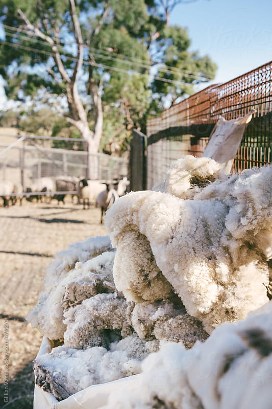 wool fleece piled up with shorn sheep in the background by Gillian Vann for Stocksy United