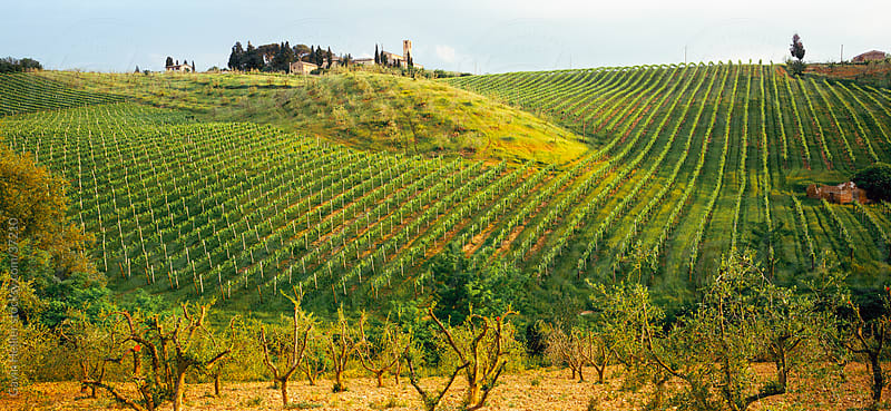 Vineyard in the Chianti Classico region north of Siena, Tuscany, Italy, Europe by Gavin Hellier for Stocksy United