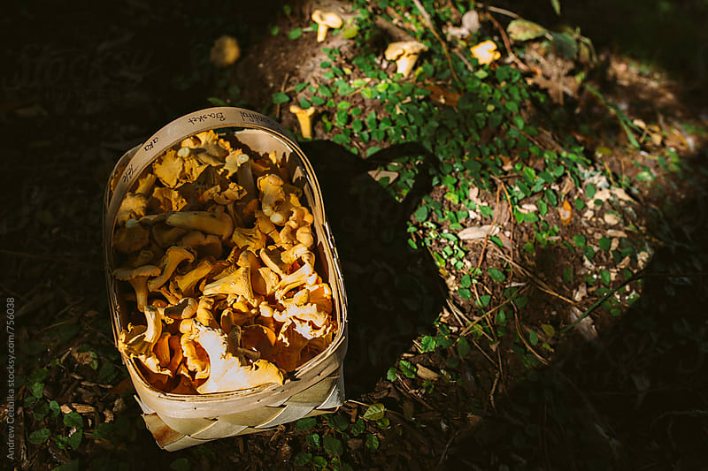 Chanterelle Mushroom by Andrew Cebulka for Stocksy United