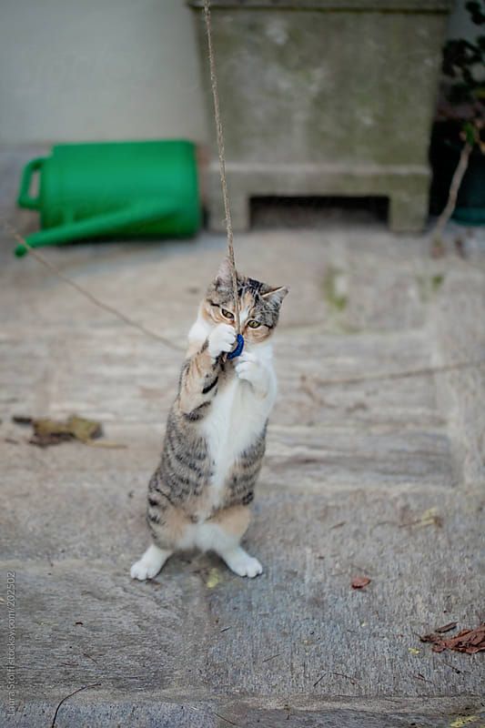 Cute calico cat standing on her feet and playing wiyh a string in garden by Laura Stolfi for Stocksy United