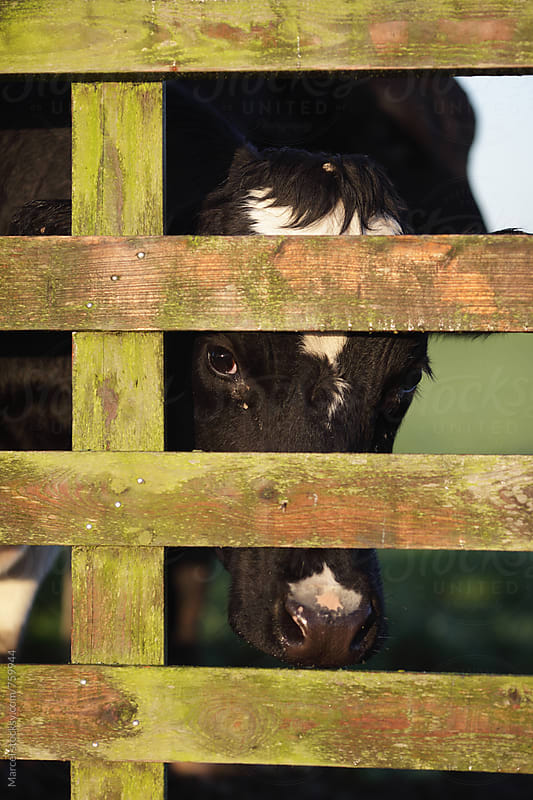 Cow peeking from behind a wooden fence by Marcel for Stocksy United