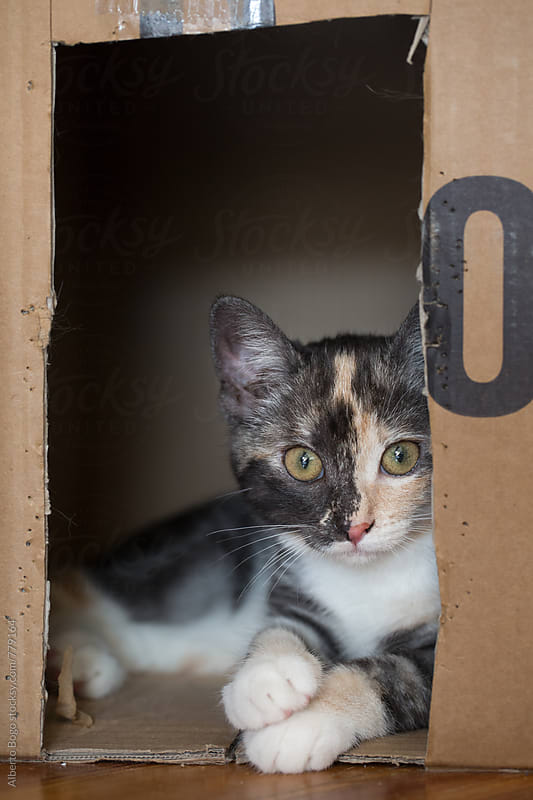 Cat peeking out of a shipping box. by Alberto Bogo for Stocksy United