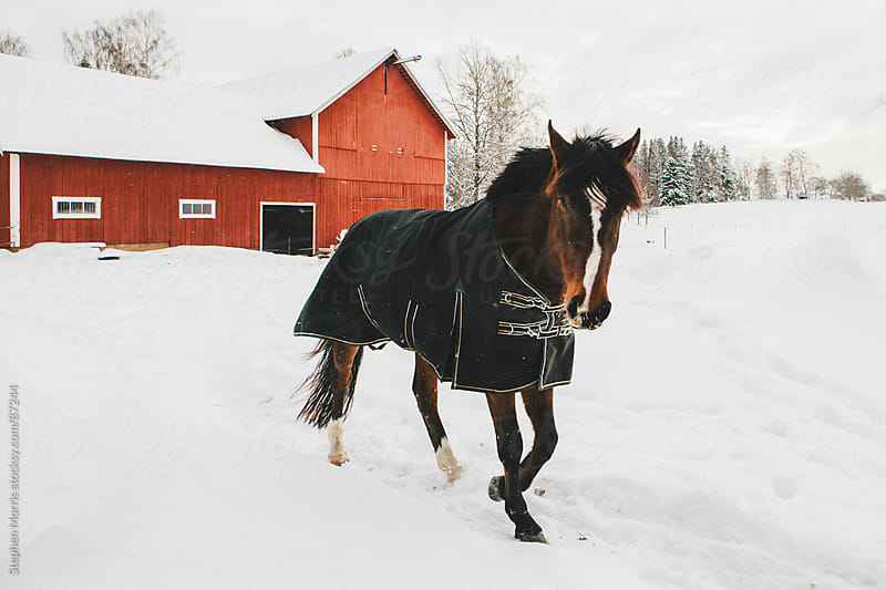 Horse and red barn in snow by Stephen Morris for Stocksy United