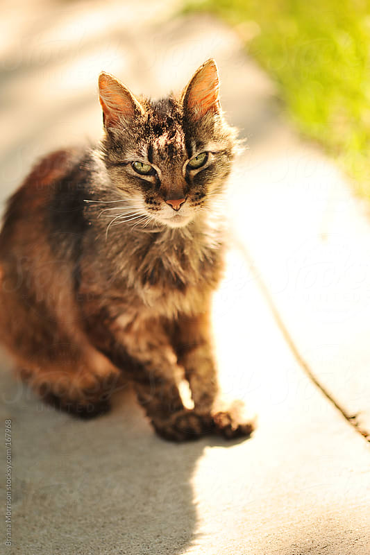 A Cat on a Sidewalk in Sunshine by Briana Morrison for Stocksy United