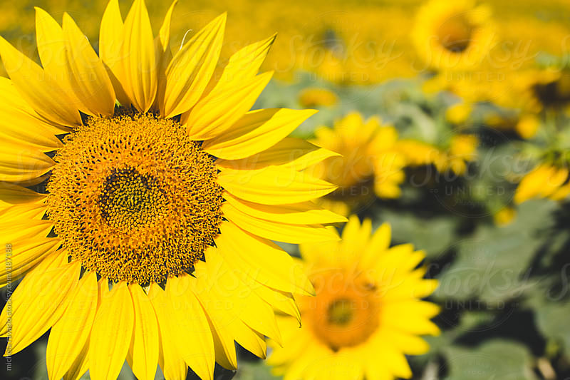 Sunflowers by michela ravasio for Stocksy United
