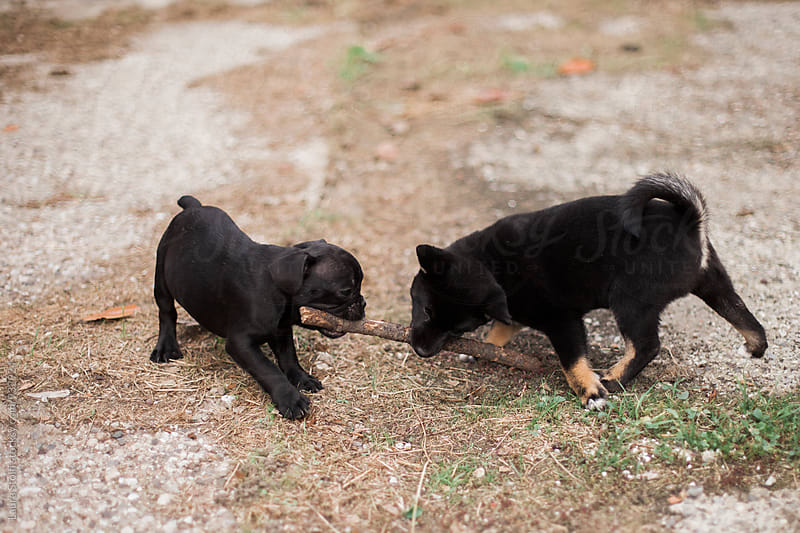 Two puppies playing with wood stick in garden by Laura Stolfi for Stocksy United