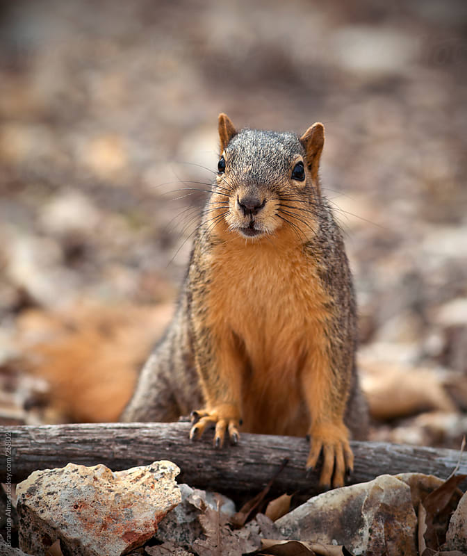 Eastern Fox Squirrel Closeup in the Woods by Brandon Alms for Stocksy United