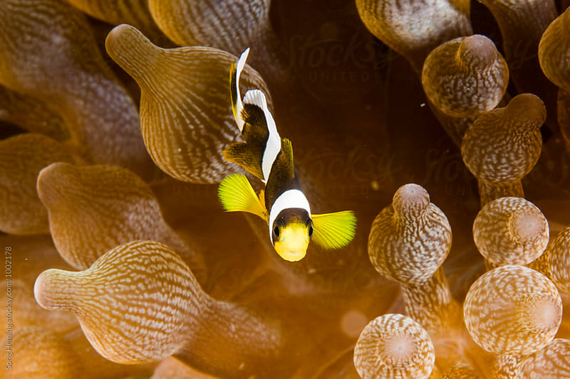 anemonefish  live in soft coral by Song Heming for Stocksy United