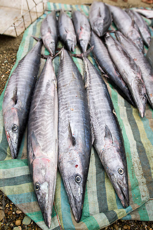 Wahoo caught in an Ecuadorian artisanal commercial fishery by Mihael Blikshteyn for Stocksy United