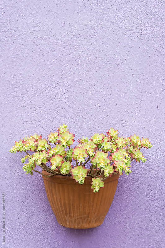 Flower pot on a purple wall, Burano by Bisual Studio for Stocksy United