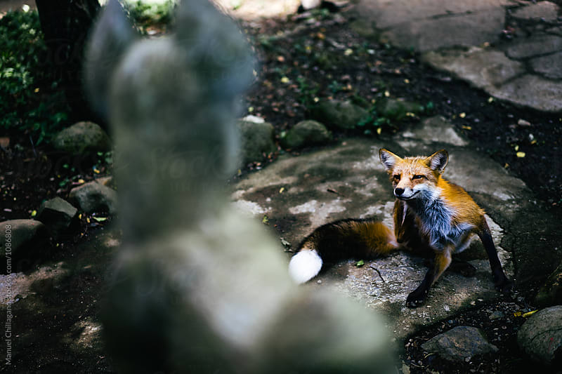 Red fox scratching his ears while watching a statue of fox deity Inari by Manuel Chillagano for Stocksy United
