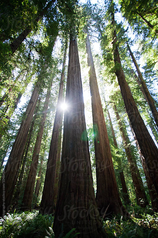 Sunset in a redwood forest by Carleton Photography for Stocksy United