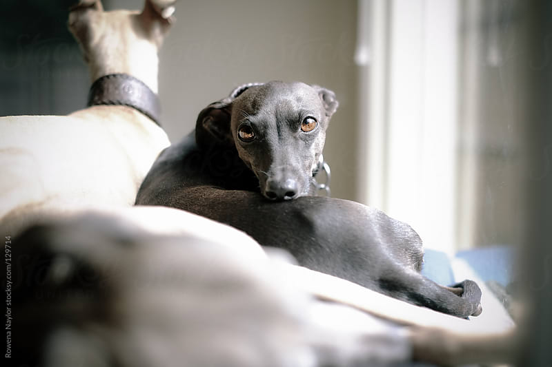 Italian Greyhound looking in camera by Rowena Naylor for Stocksy United