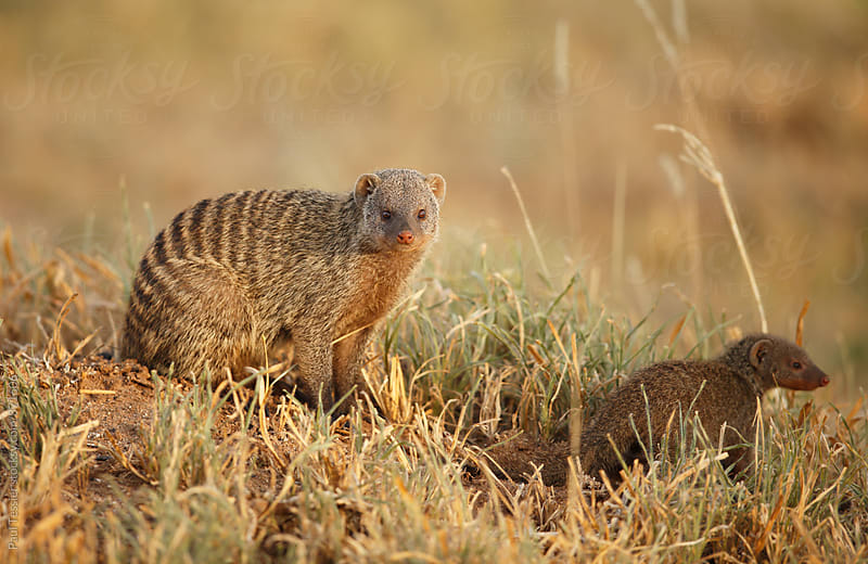 Banded mongoose by Paul Tessier for Stocksy United
