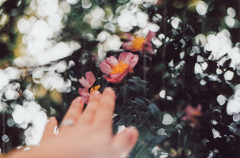 Hand reaching out to camellia flowers by Kara Riley for Stocksy United