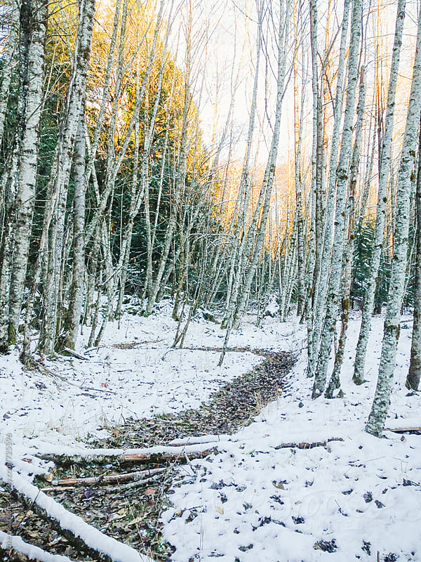 Winding Path Through Birch Trees In Winter With Snow On Ground by Luke Mattson for Stocksy United