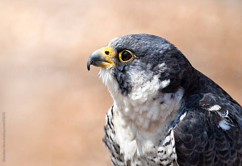 Word's Fastest Animal: A Closeup of a Peregrine Falcon by Brandon Alms for Stocksy United