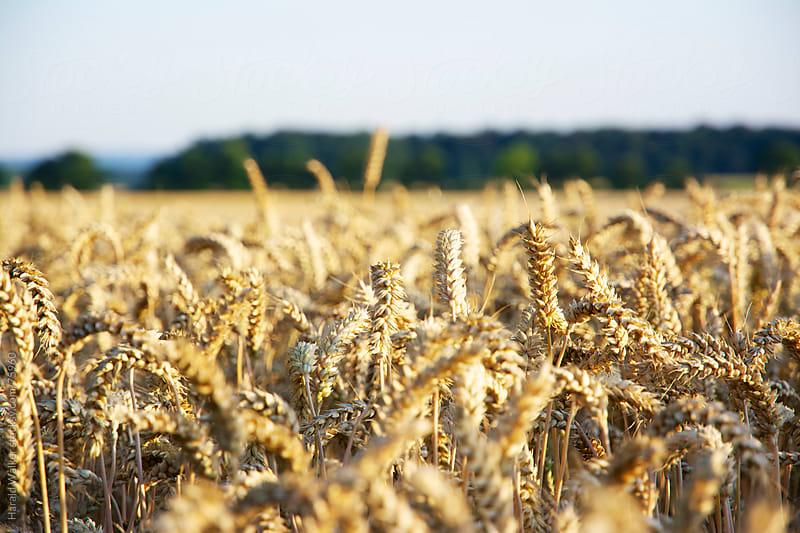 Golden wheat field by Harald Walker for Stocksy United