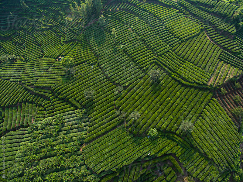 tea field in the mountain  by cuiyan Liu for Stocksy United