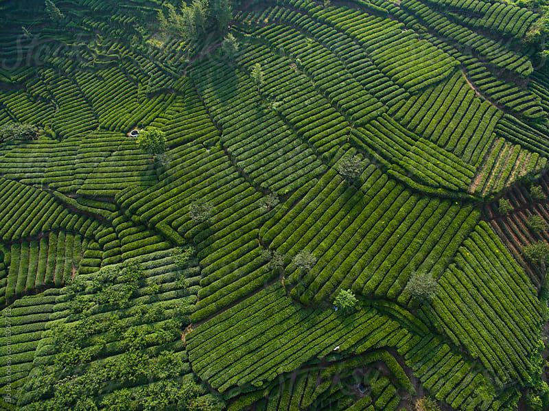 tea field in the mountain  by Bo Bo for Stocksy United