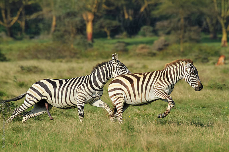 Zebras by Gabriel Ozon for Stocksy United