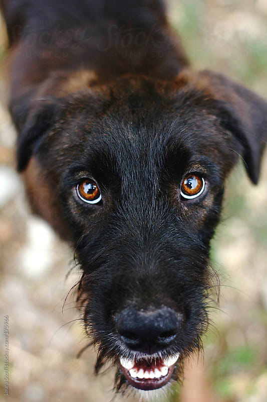 Eye contact: handsome giant Schnauzer dog looks at the camera by Laura Stolfi for Stocksy United