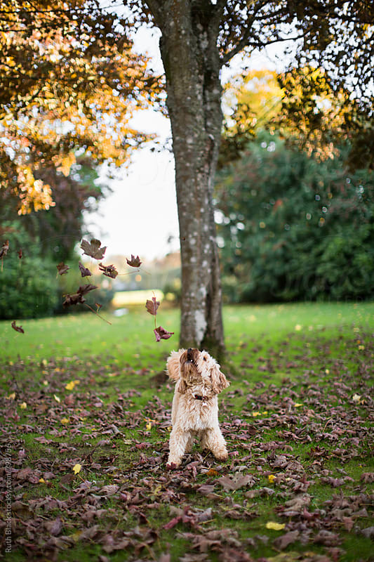 Cockapoo playing in fall leaves by Ruth Black for Stocksy United