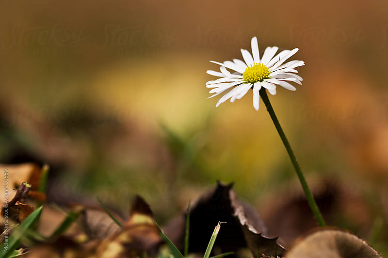 Single wilting daisy on a fall floor by Melanie Kintz for Stocksy United