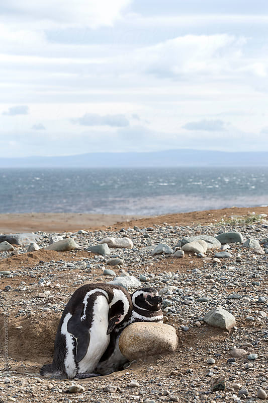 Cuddly pair of adult Magellanic penguins at the beach of Chile by Jovana Milanko for Stocksy United
