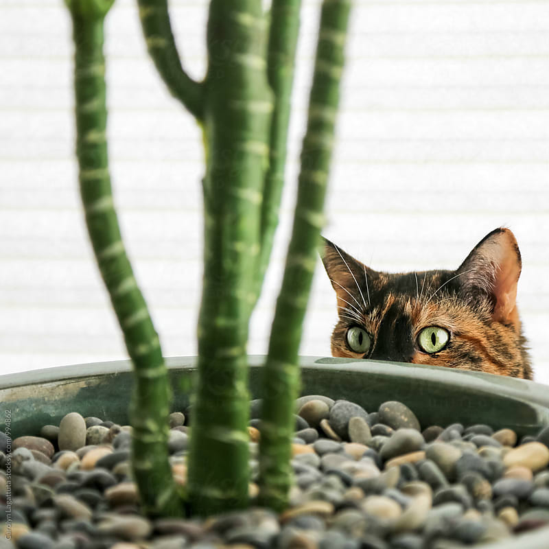 Calico cat hiding behind a plant by Carolyn Lagattuta for Stocksy United