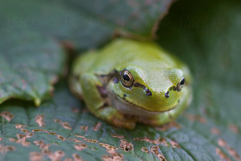 Little Green Japanese Tree Frog by Jason Hill for Stocksy United