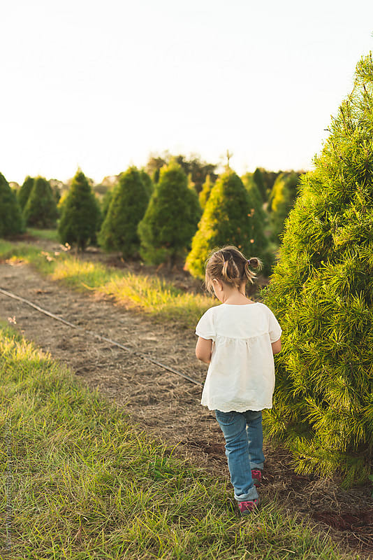 A Little Girl Walks The Rows At The Christmas Tree Farm by Alison Winterroth for Stocksy United